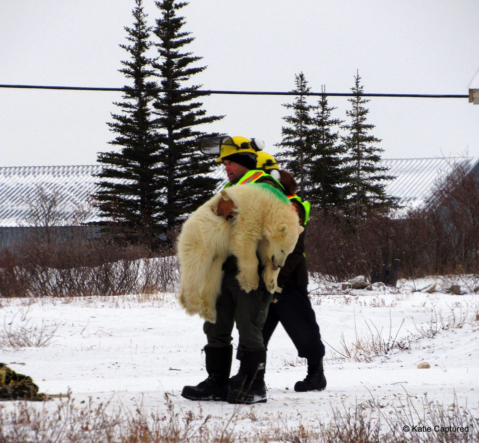 Manitoba Conservation officers ready a polar bear for a lift north. Katie de Meulles photo.